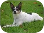 Rat Terrier Dog for adoption in Jacksonville, Florida - Squirt