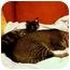 Photo 4 - Domestic Shorthair Kitten for adoption in Davis, California - Posy