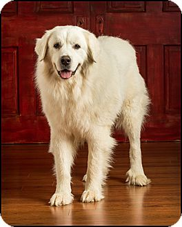 Great Pyrenees Dog for adoption in Owensboro, Kentucky - Buddy