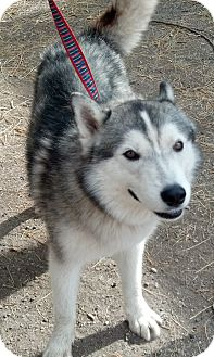 Siberian Husky Dog for adoption in Gilbert, Arizona - Jackson