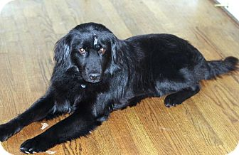 Lucas | Adopted Dog | Atlanta, GA | Flat-Coated Retriever ... Selkirk Rex Atlanta