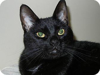 Bombay Cat for adoption in Miami, Florida - Uma