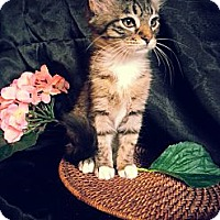 Adopt A Pet :: Caviar - Clearfield, UT