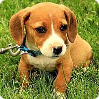 Adopt A Pet :: Nina - Staunton, VA