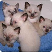 Adopt A Pet :: Siamese Kittens - Davis, CA