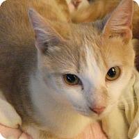 Adopt A Pet :: Cora - Colmar, PA