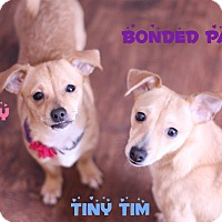 Adopt A Pet :: Tiny Tim - Newtown, CT