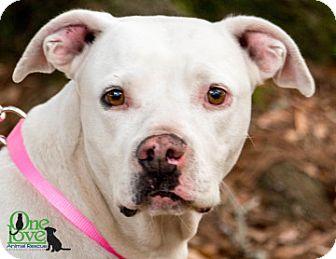 American Bulldog Dog for adoption in Savannah, Georgia - Belle