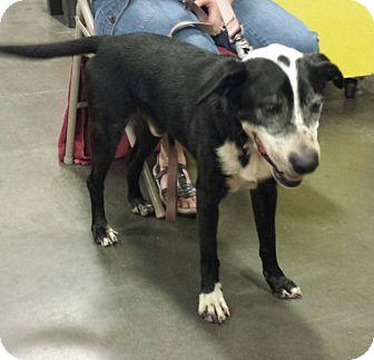 Labrador Retriever/Dalmatian Mix Dog for adoption in Alexis, North Carolina - Bogey
