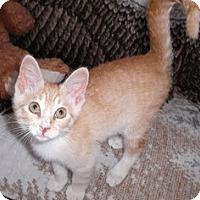 Adopt A Pet :: Creamsicle - Edmonton, AB