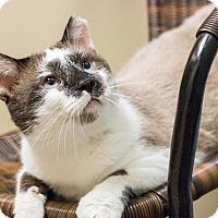 Adopt A Pet :: Mr Snowman - Chicago, IL