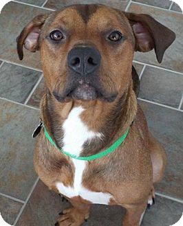 Mountain Cur Mix Dog for adoption in Boston, Massachusetts - Loki Cur