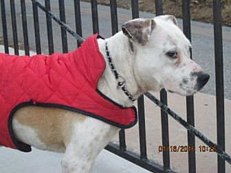 Pit Bull Terrier Mix Dog for adoption in La Mesa, California - BOY WITH HIS TOY B.T.