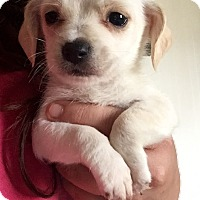 Maltese/Chihuahua Mix Puppy for adoption in Long Beach, California - Maltese Mix Pup 1
