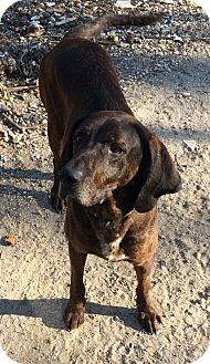 Plott Hound Mix Dog for adoption in Mantua, New Jersey - Zebulon