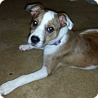 Adopt A Pet :: Opal - E. Greenwhich, RI