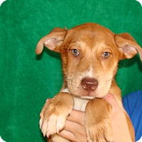 Adopt A Pet :: Mango - Oviedo, FL