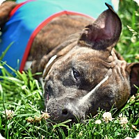 American Staffordshire Terrier/Boxer Mix Dog for adoption in St. Louis, Missouri - Mala