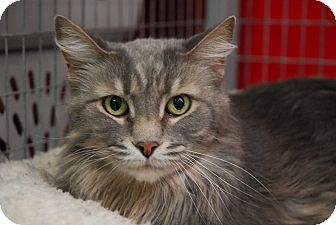 Domestic Mediumhair Cat for adoption in Winchendon, Massachusetts - Dusty