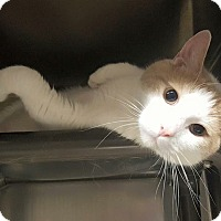 Adopt A Pet :: Snuggles (in CT) - Manchester, CT