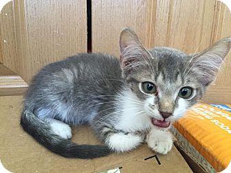 Domestic Shorthair Kitten for adoption in Middletown, Ohio - Frijole Bean