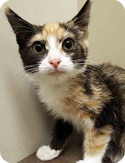 Domestic Shorthair Kitten for adoption in Shorewood, Illinois - ADOPTED!!!   Callie