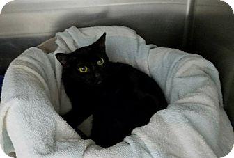 Domestic Shorthair Kitten for adoption in Elyria, Ohio - Jana