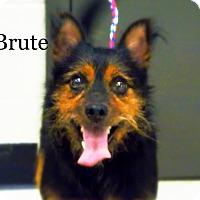 Adopt A Pet :: Brute - Defiance, OH