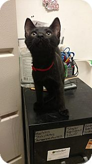 Domestic Shorthair Kitten for adoption in Bensalem, Pennsylvania - Clyde