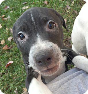Bull Terrier Mix Puppy for adoption in Cincinnati, Ohio - Serenity