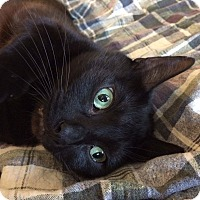 Domestic Shorthair Cat for adoption in Frankfort, Illinois - Martin