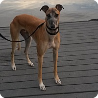 Greyhound Dog for adoption in Ashland City, Tennessee - Buster