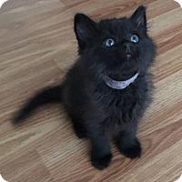 Domestic Longhair Kitten for adoption in Fenton, Missouri - Uru