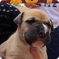 Boxer Mix Puppy for adoption in Coldwater, Michigan - Holly