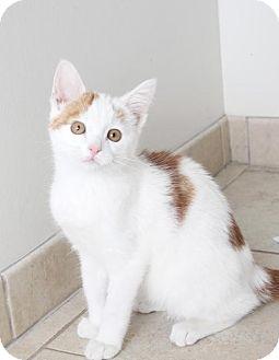 Domestic Shorthair Kitten for adoption in Edina, Minnesota - Gilbert C160389