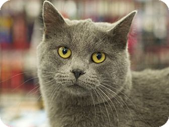 Domestic Shorthair Cat for adoption in Great Falls, Montana - Chubs