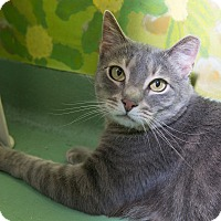 Domestic Shorthair Cat for adoption in New York, New York - Andrew