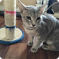 Domestic Shorthair Cat for adoption in Bakersfield, California - Horus