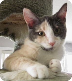 Calico Kitten for adoption in Winchester, California - Sassy Girl