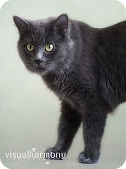 Russian Blue Cat for adoption in Phoenix, Arizona - Keira