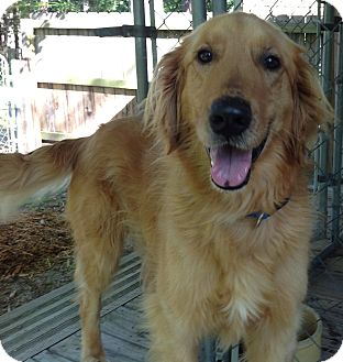 Golden Retriever Dog for adoption in Cheshire, Connecticut - Hank