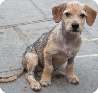 Wirehaired Fox Terrier/Dachshund Mix Puppy for adoption in Norwalk, Connecticut - Diesel