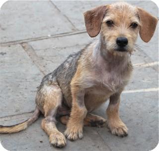 diesel adopted puppy norwalk ct wirehaired fox