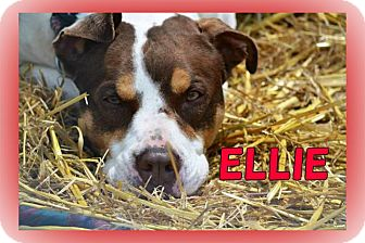 Middletown, NY - Pointer/American Staffordshire Terrier Mix. Meet ...