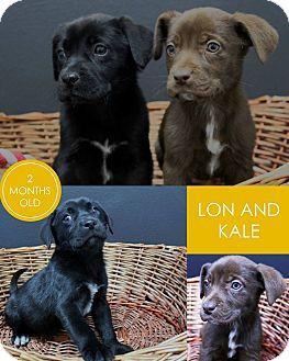 Labrador Retriever Mix Puppy for adoption in Lufkin, Texas - Kale