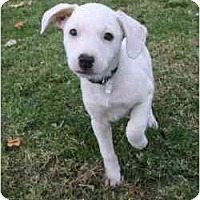 Adopt A Pet :: Puppies - Gilbert, AZ
