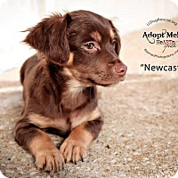 Adopt A Pet :: Newcastle - Shawnee Mission, KS