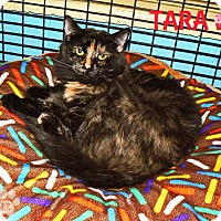 Domestic Shorthair Cat for adoption in Converse, Texas - Tara