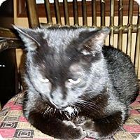 Domestic Shorthair Cat for adoption in Burlington, Ontario - Capri