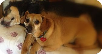 Dachshund/Beagle Mix Dog for adoption in Riverside, California - DUDLEY